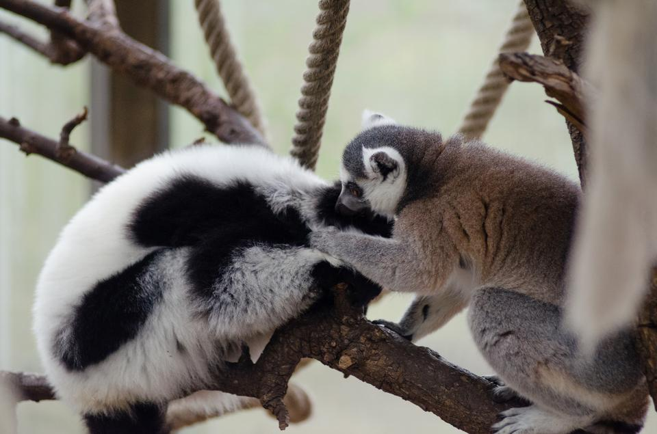 Two adult lemur katta