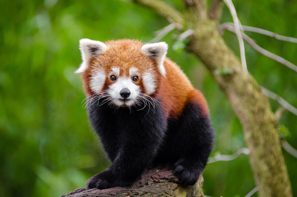 Baby roten Panda