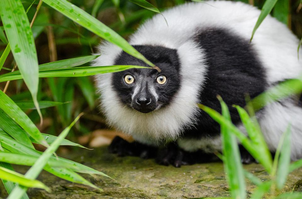 In bianco e nero Ruffed Lemur
