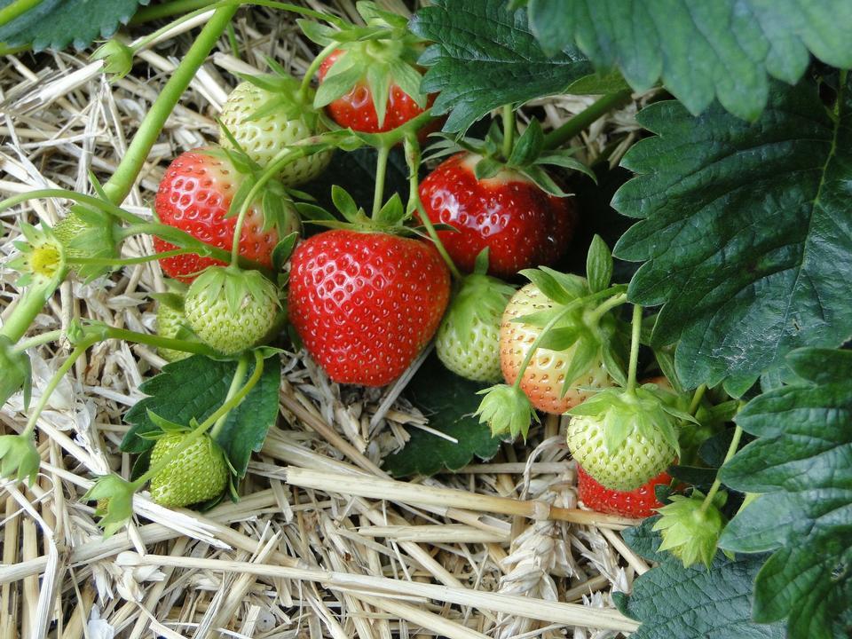 Erdbeere in der Farm