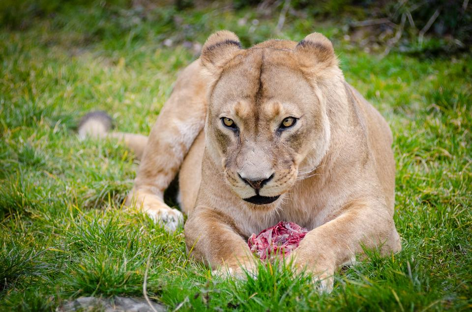 Lion in captivity being fed raw meat