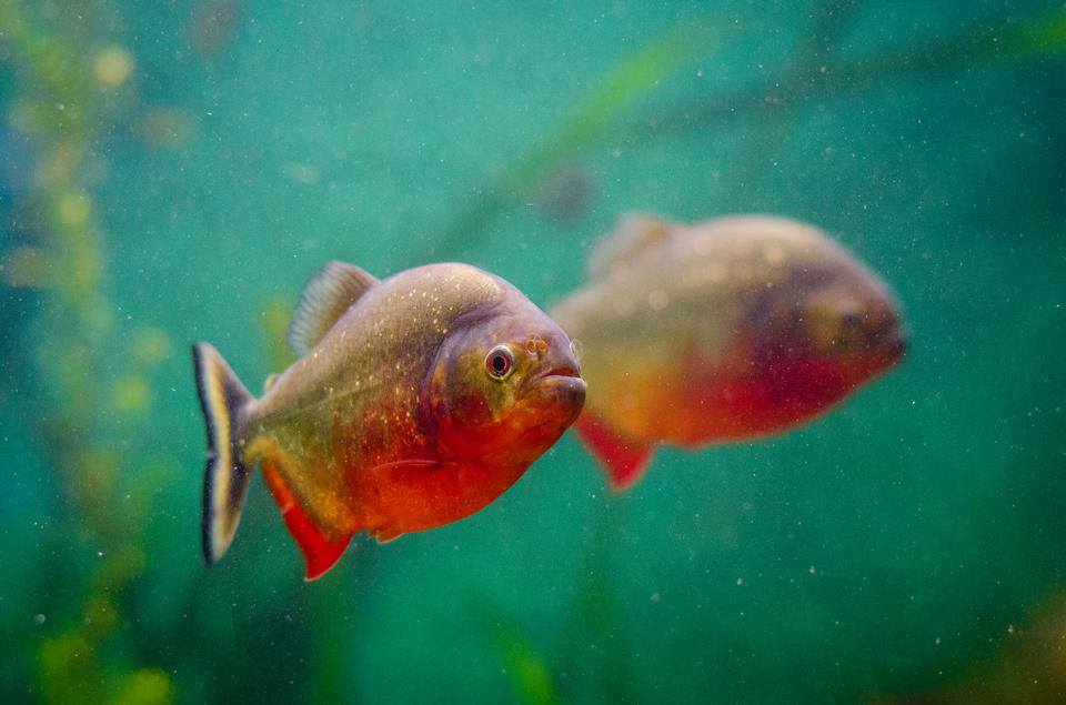 Tropical piranha Fische in einer natürlichen Umgebung