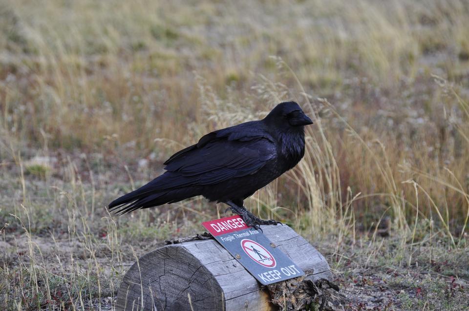 Raven, Corvus corax, oiseau unique sur la neige, Yellowstone