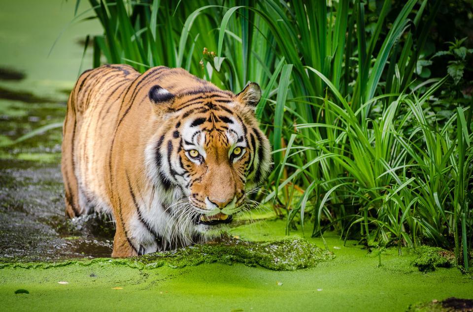 backlit siberian tiger portrait