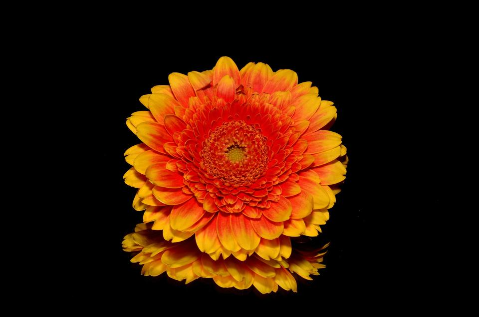 A orange gerbera flowers on black background
