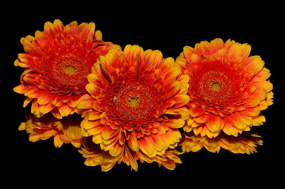Three orange gerbera flowers on black background