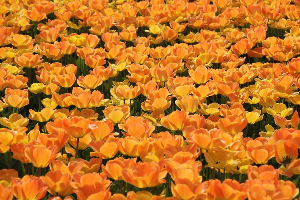 Red Orange Yellow Tulips flower shot