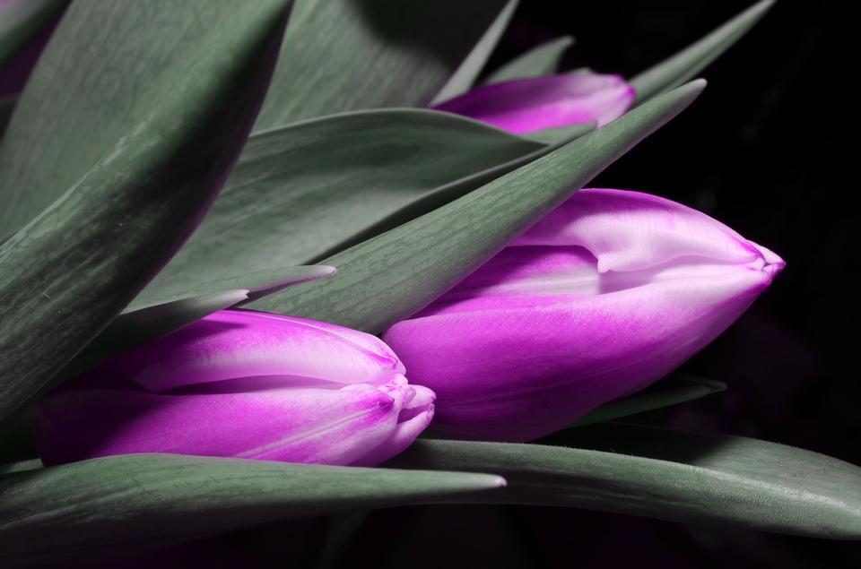 紫色的郁金香,选择性焦点