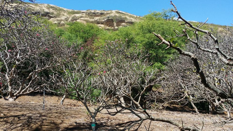 cactus trees inside the crater of Koko Head