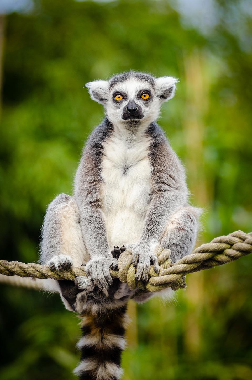 环尾狐猴坐在树上