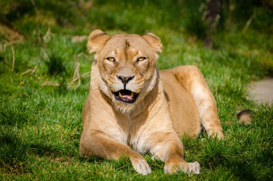 Closeup of lioness lying in the grass