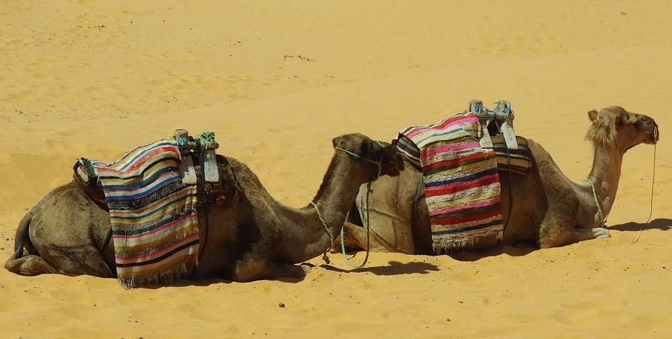 タール砂漠で一休みラクダ