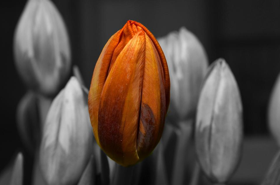 Tulips black and white on a orange tulip