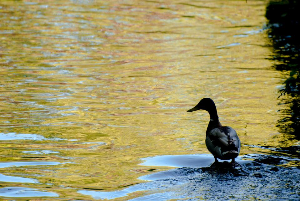 Wild duck female at the bank of the river