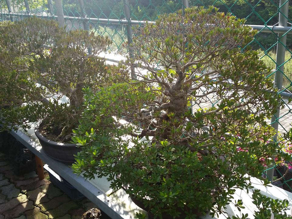 Advanced Japanese bonsai