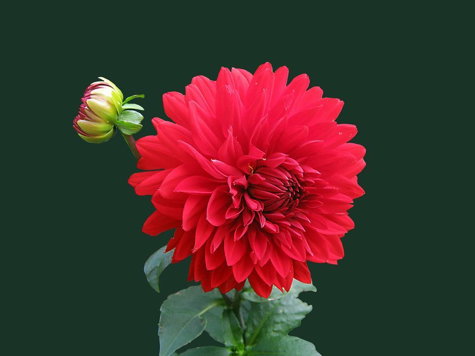 紅色大麗花花