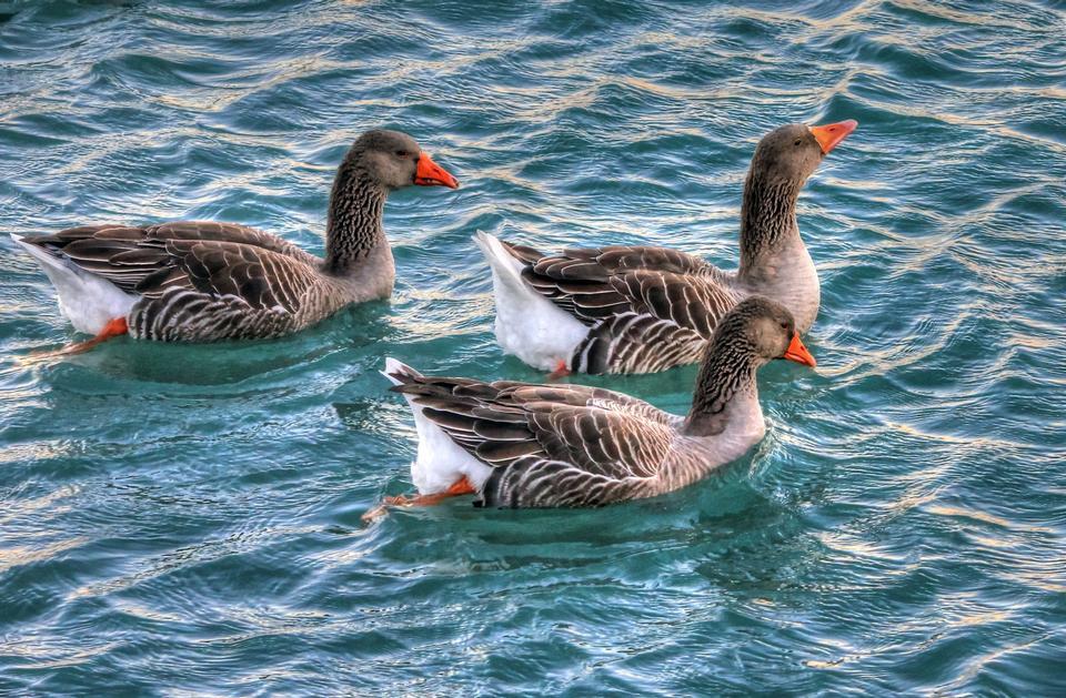 Canada Goose, Branta canadensis, in water