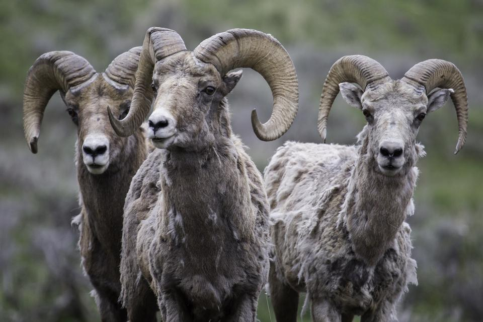Bighorn Sheep, mother and twin lambs