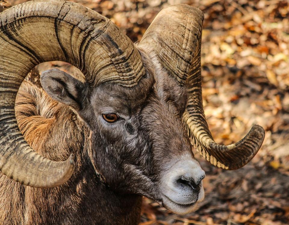 Rocky Mountain Bighorn Sheep, pieno ricciolo trofeo ram