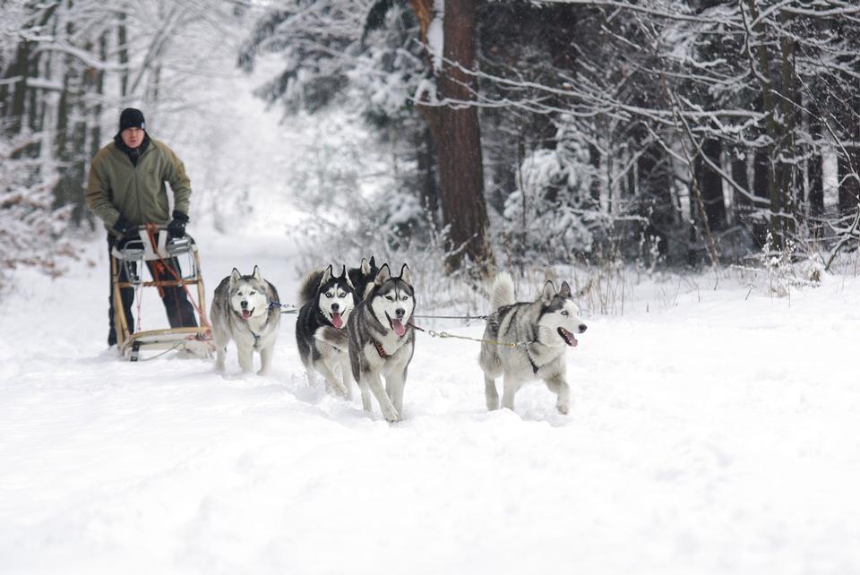 Os cães estão puxando o trenó com velocidade total.