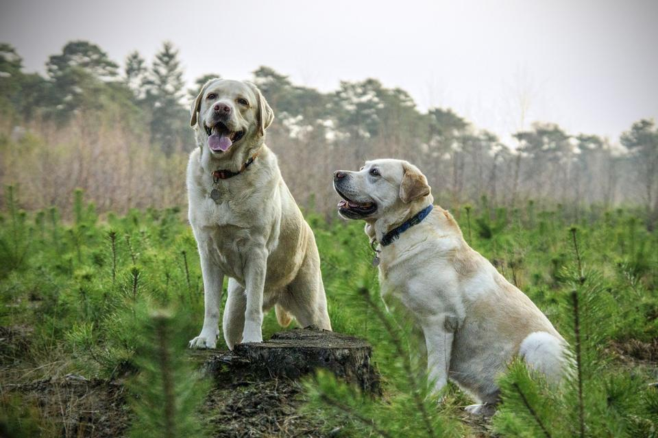 美丽的金色猎犬对
