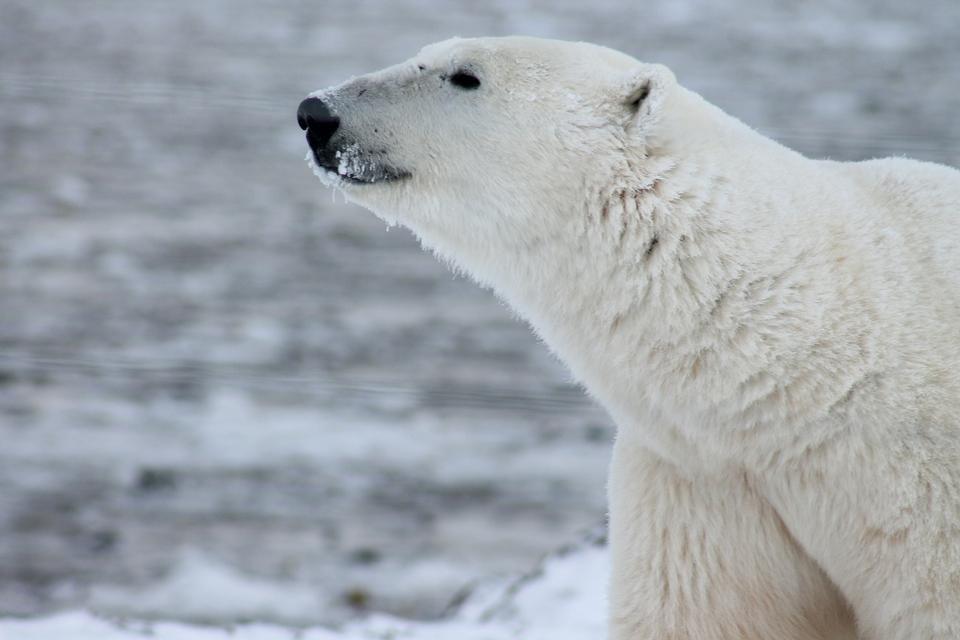 Close up of polar bear in Canada