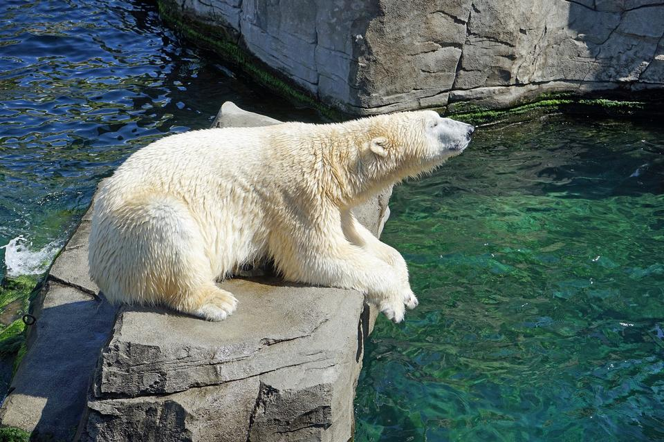 White Polar Bear Hunter in Wassertropfen.