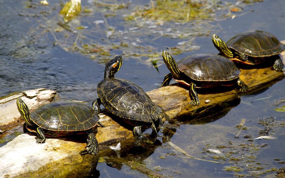 Turtles sunning at the pond,Freshwater turtles