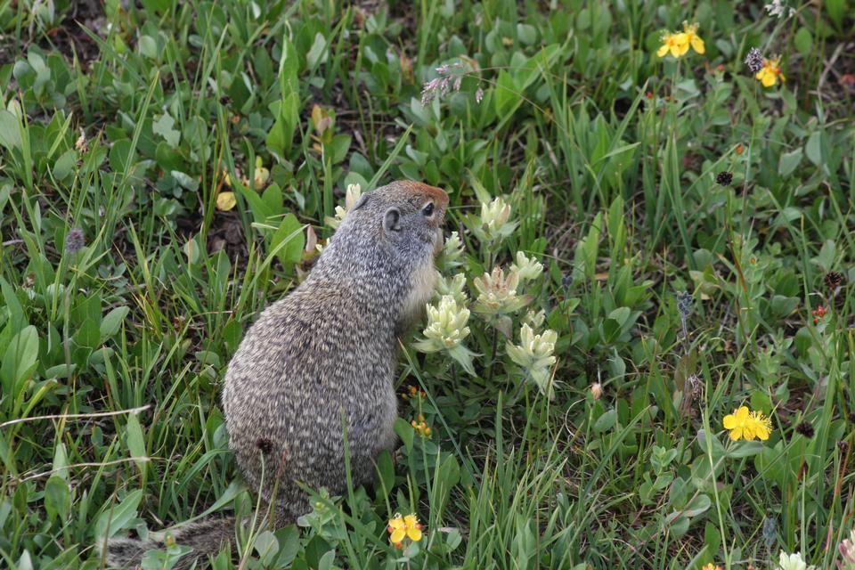 Ground Squirrel in Glacier National Park, Montana