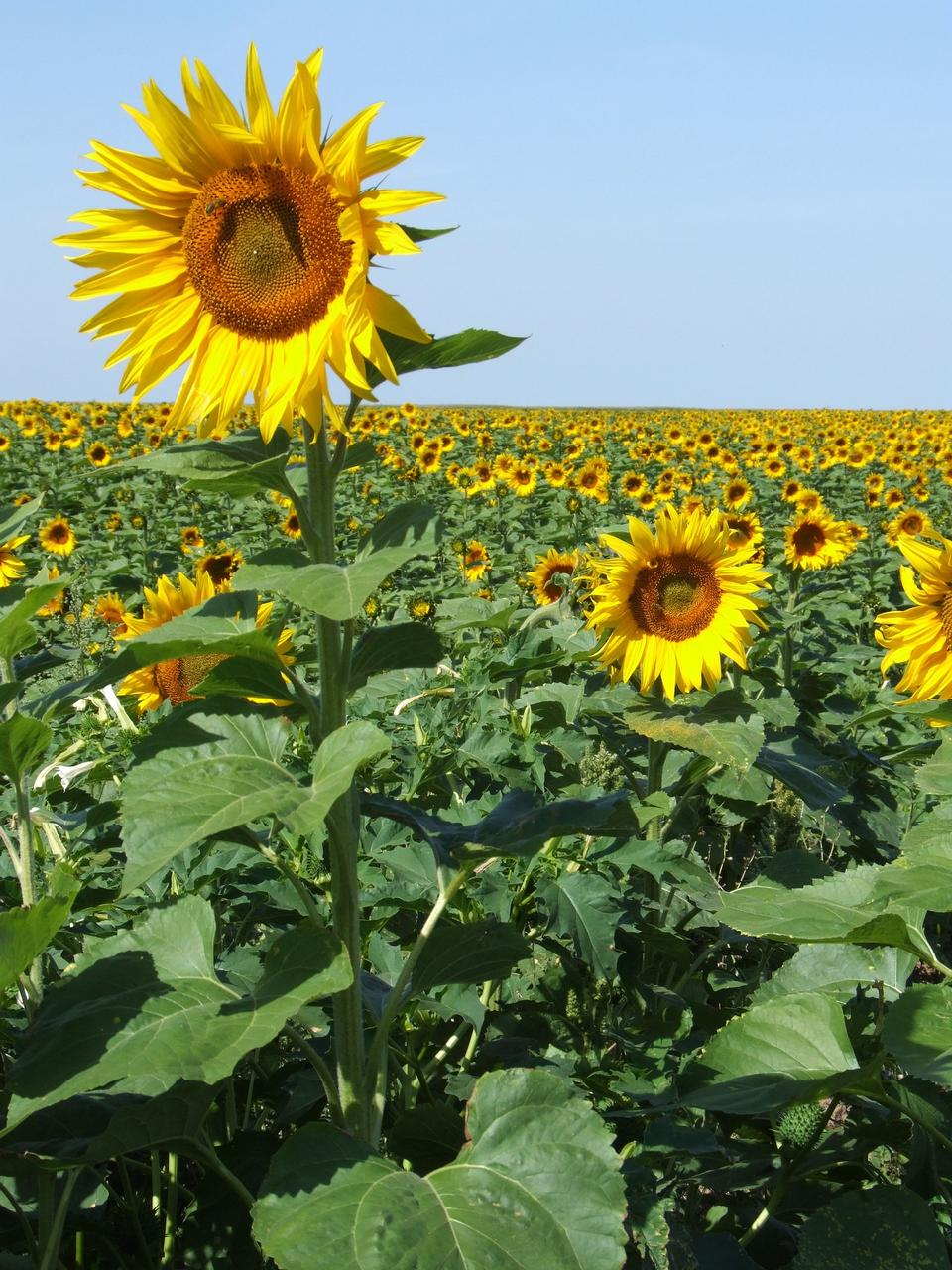 Sunflowers France Field Yellow Summer Provence