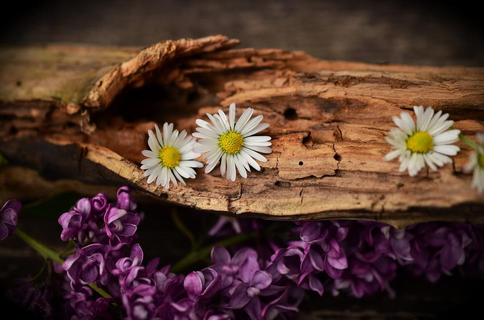 Wood Old Wood Weathered Structure Flowers Daisy