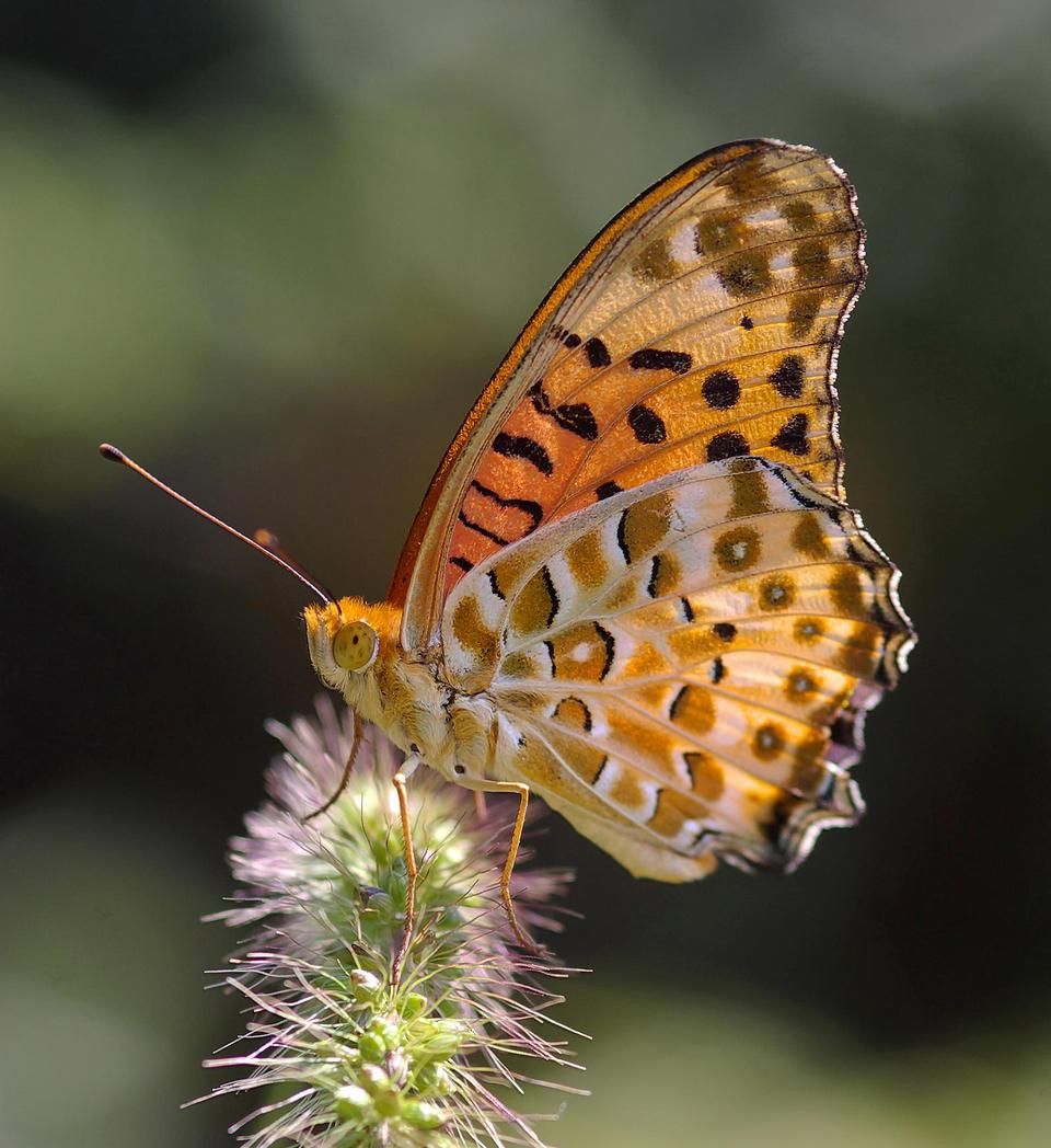 Indian fritilary butterfly
