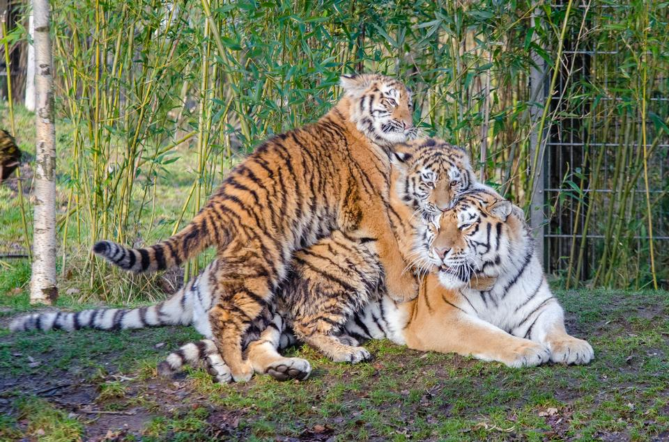 three cute Siberian tiger cubs