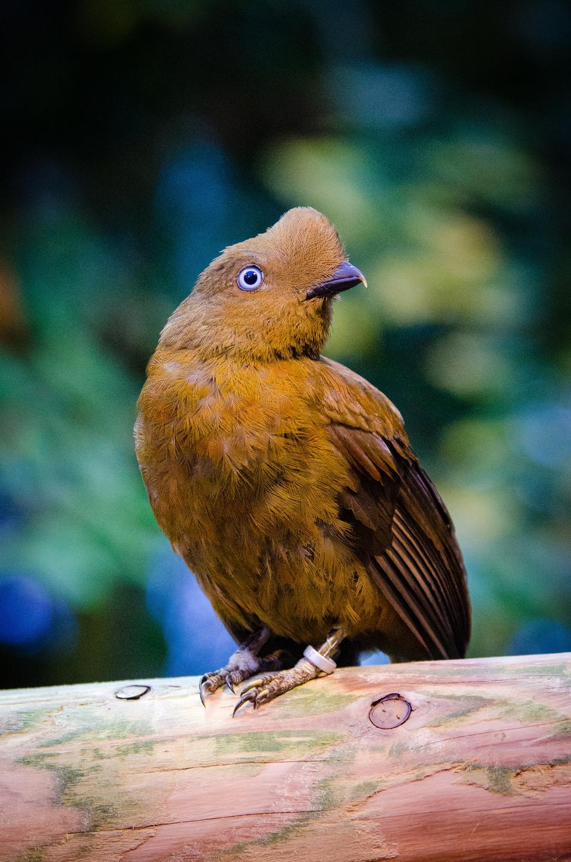 Andean cock-of-the-rock bird of the Rupicola rupicola peruvianus