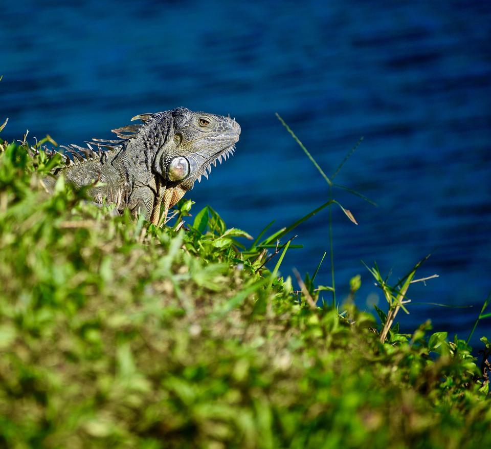 イグアナは、マイアミ、フロリダ州、海に沿って歩きます