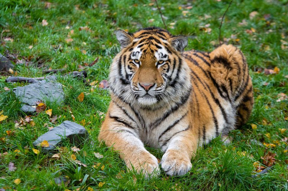 在绿色草地上的西伯利亚虎