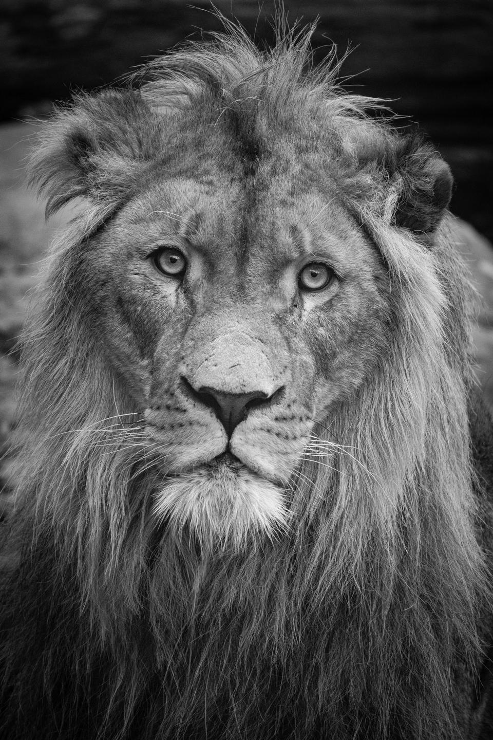 black and white portrait of Asiatic Lion