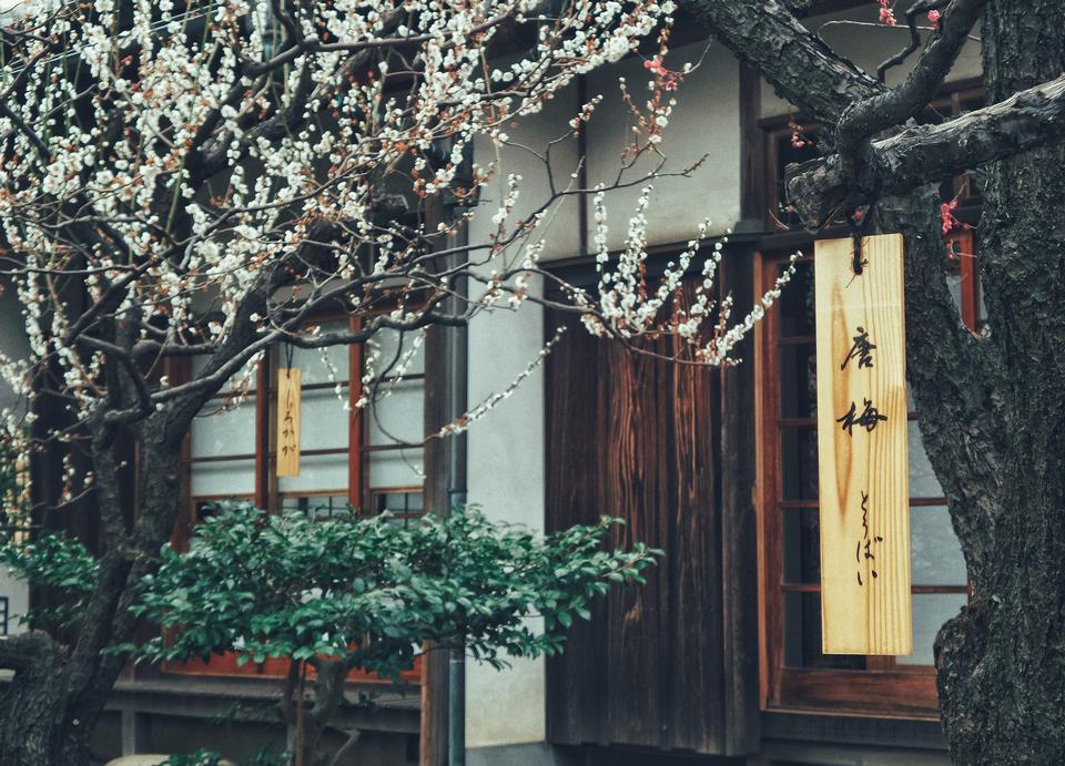 Beautiful Cherry Blossom or Sakura flower