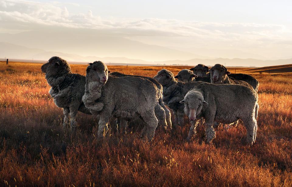 Nova Zelândia, ovelha merino na fazenda