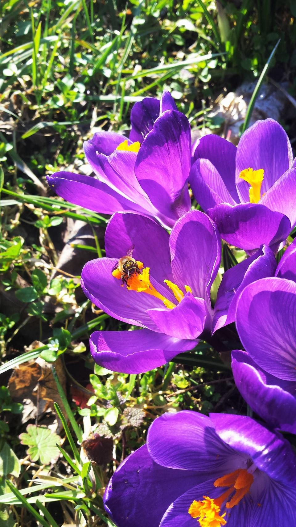 Bumble Bee on First Spring Flowers