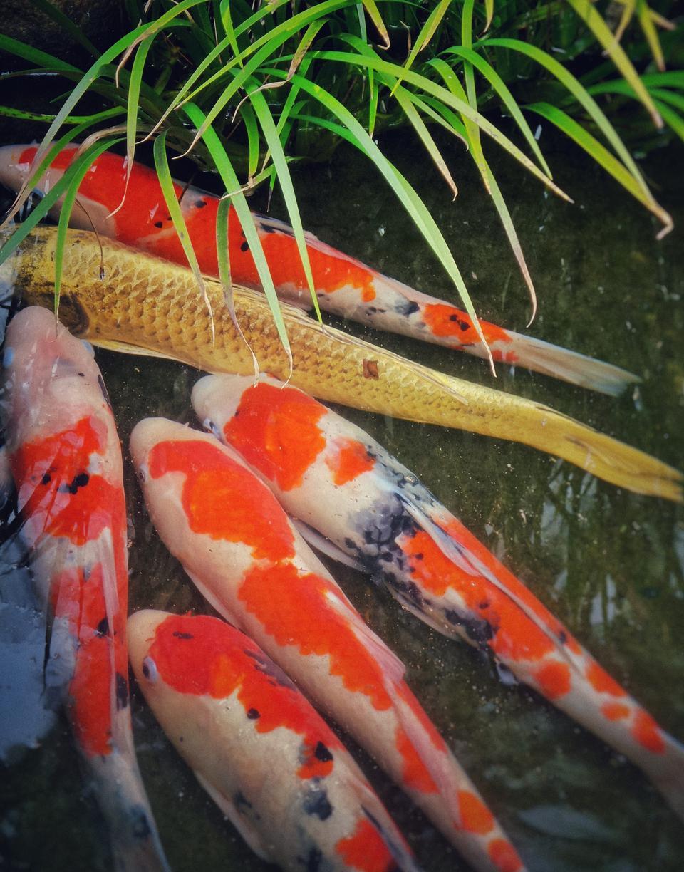 Japanese garden pond with koi carp fish