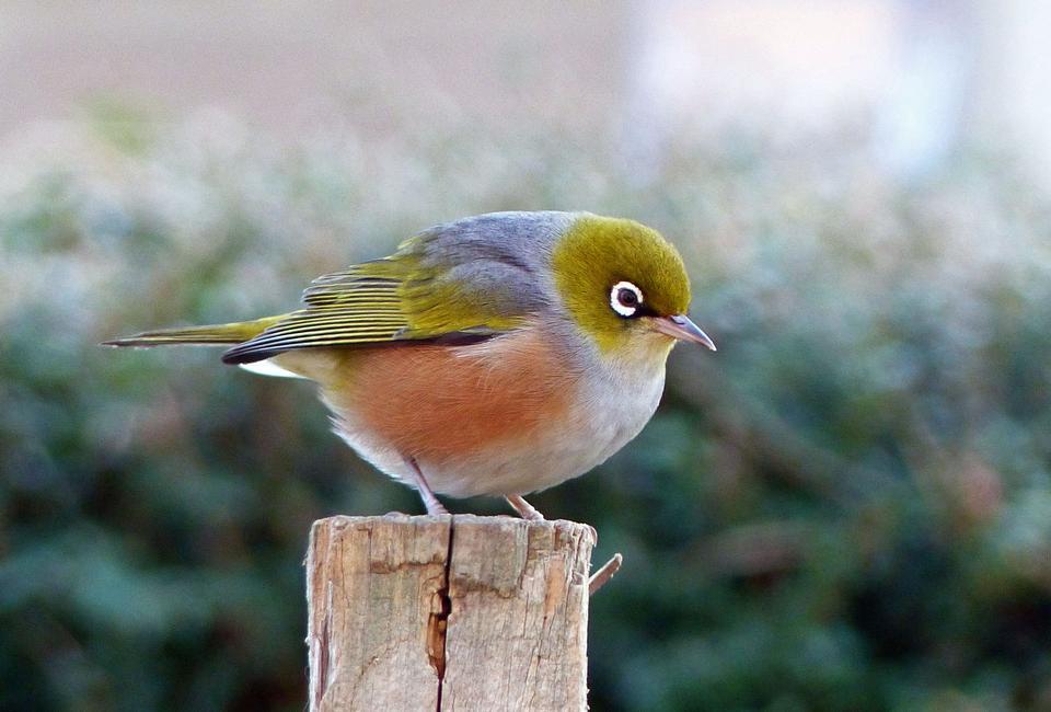 Silvereye Zosterops lateralis Australian Native bird