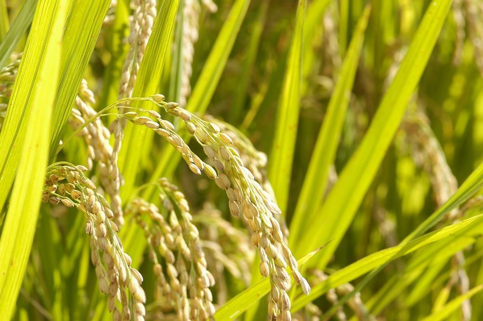 cerca del campo de arroz verde amarillo