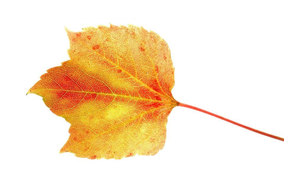 孤立的叶子
