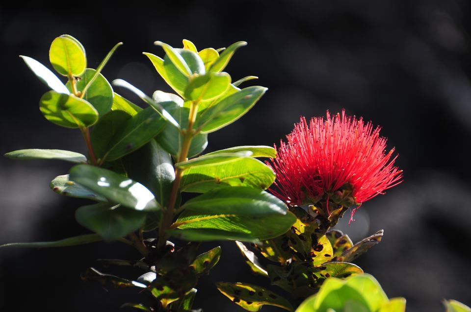 A rare plant growing on the Mauna Kea volcano