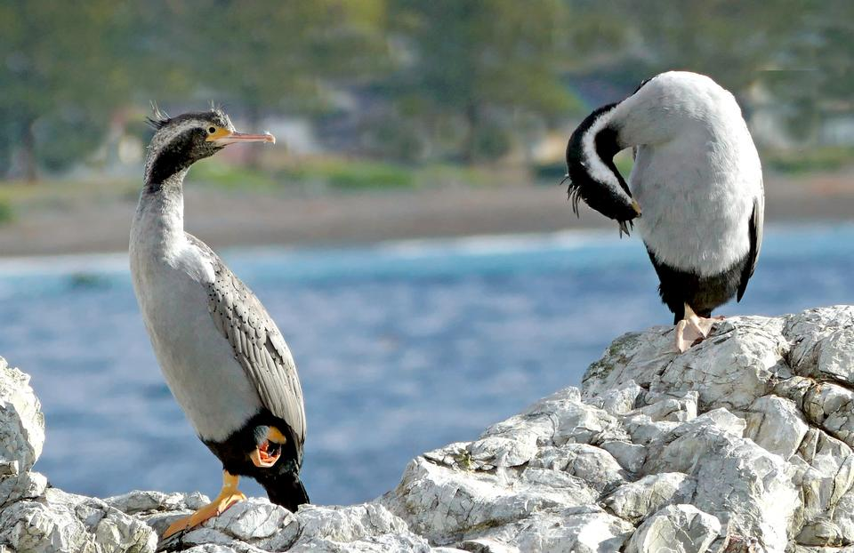Spotted shags on the cliff in Catlins, New Zealand