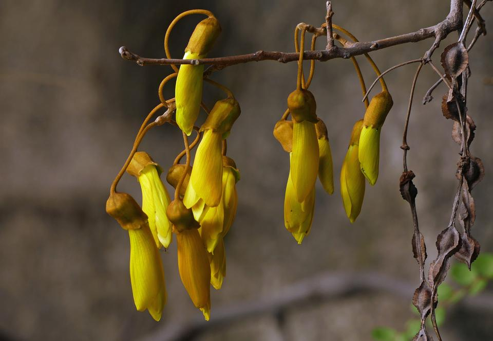 kowhai tree flower in springtime