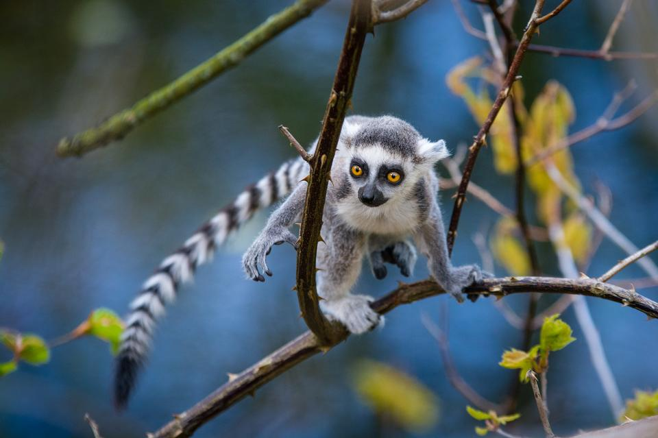 Baby Ring Tailed Lemur in Tree