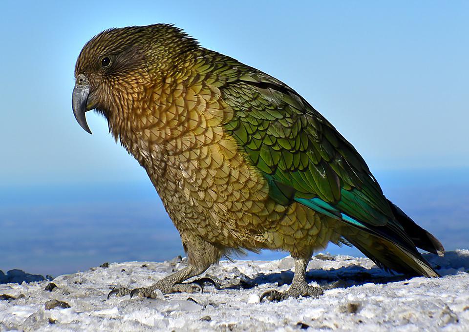 五颜六色的Kea鸟在新西兰的道路上