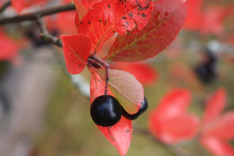 leaf and berry